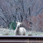 Bighorn buzz | The Taos News