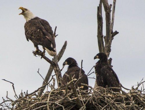 Bald eagle upgraded, 2 bee species marked as endangered | Regional News