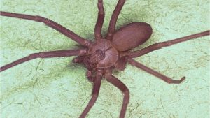 Missouri doctors find venomous brown recluse spider in woman's ear
