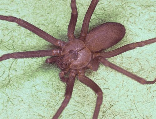 Missouri doctors find venomous brown recluse spider in woman's ear