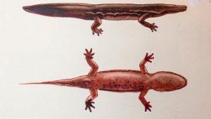 Giant salamander may be the world's largest amphibian