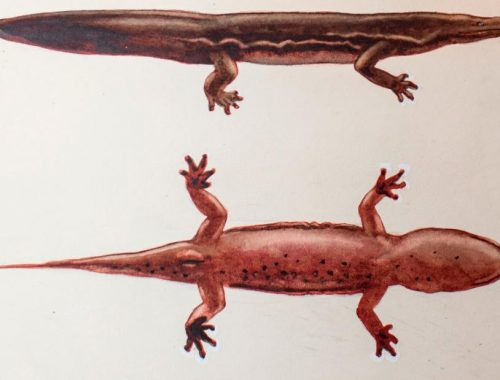 Giant salamander may be the world's largest amphibian
