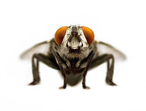The buzz about San Antonio's houseflies is that they suck — big time